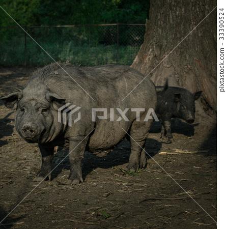 Pigs eat grass 33390524