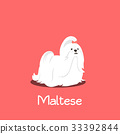 An illustration depicting a cute Maltese dog 33392844