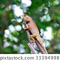 Close up of a chameleon with burred background 33394998