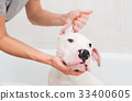 Bath of a dog Dogo Argentino 33400605