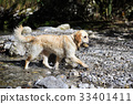 Golden retriever dog playing in lake 33401411