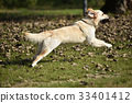 Golden retriever dog playing on grass 33401412