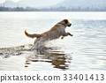金毛猎犬 猎犬 狗 33401413