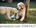 Two golden retriever dogs playing on grass 33401417