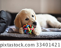 Golden retriever dog puppy playing with toy 33401421