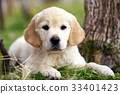 Young golden retriever puppy lying on grass 33401423