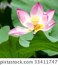 莲花 开花 花朵 33411747