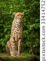 Proud Cheetah posing 33414752