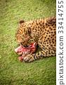 Cheetah feasting on meat 33414755