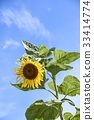 sunflower 33414774