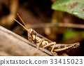 Grasshopper on nature leaves as background 33415023
