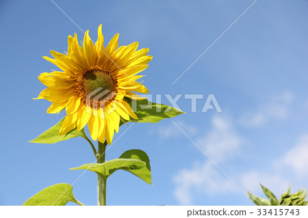 Sunflower against the blue sky 33415743