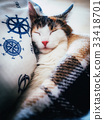 Cute caloco cat lying in bed under a blanket. 33418701