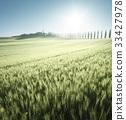 field of wheat and farm house, Tuscany, Italy 33427978