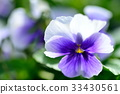 pansy, bloom, blossom 33430561
