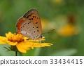 나비, 선택초점, 야생화 33434415