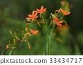 꽃봉오리, 범부채, 야생화 33434717