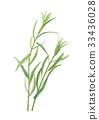 菊科 紫菀科的 菊科植物 33436028