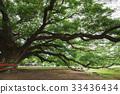 樹木 樹 巨大的 33436434