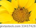꽃, 꽃술, 노랑 33437426
