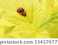 무당벌레, 잎, 짝짓기 33437677
