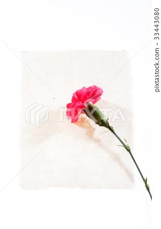 꽃,카네이션 33443080