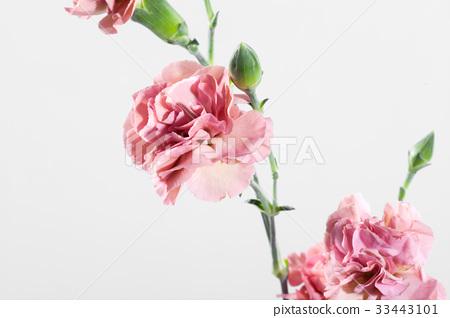 꽃,카네이션 33443101