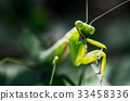 Praying mantis on green leaf 33458336