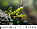 Praying mantis on green leaf 33458337