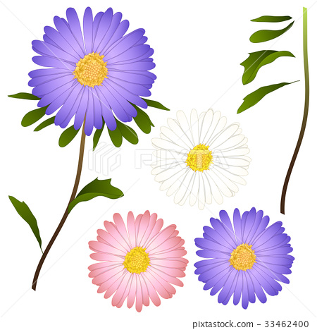 Purple, Pink and White Aster Flower.  33462400
