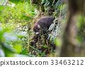 Wild white-nosed coati in  rainforest 33463212
