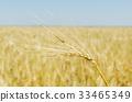 特寫 成長 小麥 33465349