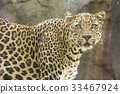 Leopard in Tenerife zoo 33467924