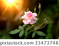 The pink fairy rose flower. 33473748