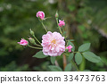 The pink fairy rose flower. 33473763