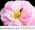 The pink fairy rose flower. 33474212