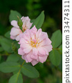 The pink fairy rose flower. 33474311