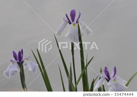 꽃 창포, 물가 부인 @ 백로 창포 원, 백로 공원, 사카이 씨, 오사카 부 33474444