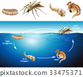 Life cycle of mosquito in the pond 33475371