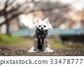 치와와, 개, 강아지 33478777