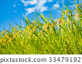 paddy, rice plant, paddy field 33479192