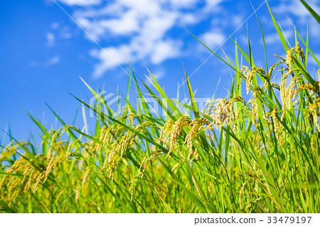 Summer rice (August) 33479197