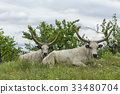 Two white oxen with long horns lie on a meadow 33480704