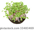 China Rose radish seedlings from above 33483469