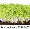 Mizuna seedlings font view 33483473