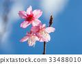 Wild Himalayan Cherry on tree 33488010