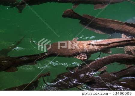 Wild catfish in the natural pool 33490009