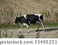 animal, animals, cow 33495251