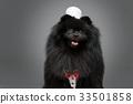 white, puppy, spitz 33501858