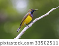 Olive-backed sunbird Male Cute Birds of Thailand 33502511